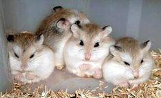 Robo Dwarf Hamster   Roborovski Hamster