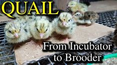 Hatching Quail Eggs & Brooding Coturnix Chicks with Tips