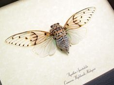 Real Ghost Cicada Conservation Quality Framed Display 2169. $39.99, via Etsy.