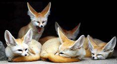 Fabulous Fennec Foxes