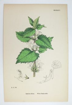 Love nettles : )  Would love to see some nettles incorporated into the logo. 1867 Antique Botanical Print White Dead Nettle by OldMapsandPrints