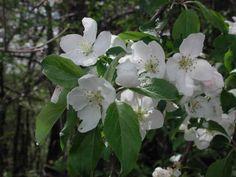 herbcraft - apple Jim McDonald