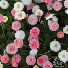 Bellis perennis 'Pomponette' mix; English daisy;  Plants are biennial, usually lasting through one season, but self-seeding to provide future generations. Removing faded flowers regularly will keep plants blooming well into the summer. Often used to underplant tulips in large public landscapes, these are excellent anywhere in the garden, as well as in containers or tubs.