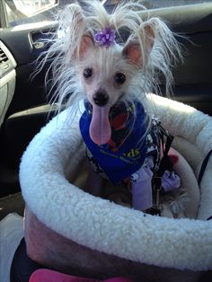 Chinese crested /therapy dog /ChaCha