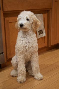 Poodle Dogs Penny sitting tall at 5 months old Goldendoodle Grooming, Poodle Grooming, Standard Goldendoodle, Goldendoodle Haircuts, Yorkie Poodle, Toy Poodles, Dog Grooming, I Love Dogs, Cute Dogs