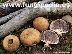 Scleroderma areolatum es un hongo del orden Sclerodermatales también conocido como Scleroderma lycoperdoides, Escleroderma areolado... ver más información.