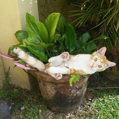 "pleiadian-starseed: ""catsbeaversandducks: ""Cats Who Think They're Houseplants ""Oh, there's no need to water me."" (photos via diply) "" "" Cats grow out of pot plants I Love Cats, Crazy Cats, Cute Cats, Funny Cats, Funny Animals, Cute Animals, Adorable Kittens, Gato Grande, Cat Plants"