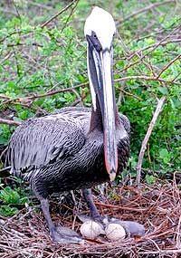 Brown Pelican - Galapagos