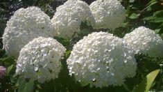 Cand si cum se taie Hortensia sa nu pierdeti florile | INGRIJIREA FLORILOR Flower Garden, Flowers, Growing, Azalia, Plants, Home And Garden