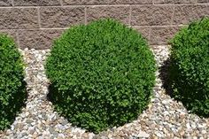 Velvet Boxwood is a low maintenance evergreen plant. Green Velvet Boxwood is a Low Maintenance Broadleaf Evergreen Plant.Green Velvet Boxwood is a Low Maintenance Broadleaf Evergreen Plant. Boxwood Landscaping, Outdoor Landscaping, Front Yard Landscaping, Landscaping Ideas, Landscaping Software, Landscaping Contractors, Luxury Landscaping, Landscaping Company, Landscaping Edging