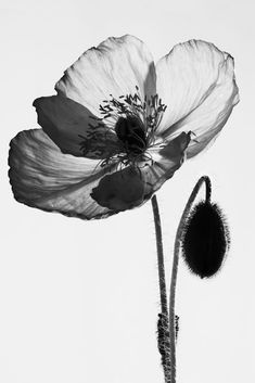 Top 61 Most beautiful flowers pictures Xray Flower, Flower Art, Flower Ideas, Black And White Flowers, Black And White Pictures, White Art, White Light, Motif Floral, Arte Floral