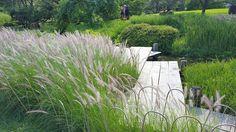 Le millet ornemental ( Pennisetum setaceum 'Rosy red' ) Le pennisetum est une graminée qui compte de nombreuses variétés et que l'on voit de plus en plus pour son côté très tendance. Idéal pour orner les jardins contemporains, elle a aussi un côté naturel et sauvage qui aère avantageusement tous les jardins.Ses épis vaporeux flottent au vent et donne une allure tout à fait spéciale aux plate-bandes. Utilisé en contenant, il peut remplacer le dracena et donner un tout autre effet à nos…