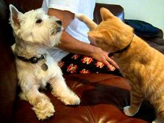 Westie getting his but kicked by kitten