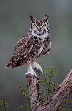 Great Horned Owl. January 21, 2012, Starr County, Texas. Tringa Photography.
