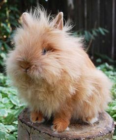 Red lionhead rabbit