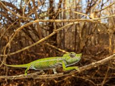 A Labord's chameleon clings to a branch in Madagascar in this National Geographic Photo of the Day.