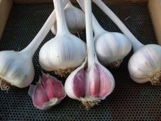 Discover five easy ways to get more raw garlic in your diet to help with lowering blood pressure and many other natural health benefits. Eating Raw Garlic, Garlic Seeds, Garlic Health Benefits, Organic Garlic, Growing Mushrooms, Natural Kitchen, Organic Seeds, Growing Seeds, Organic Farming