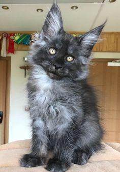 rencontre chaton chat vancouver