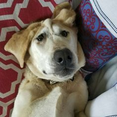 Meet Beaux Tox, a Labrador Retriever who was born with a facial deformity and experienced a life of constant rejection and neglect, until he found Jamie Hulit, his soul mate and a true best friend. Animals And Pets, Cute Animals, Labrador Retriever, Ugly Dogs, Ugly Faces, Poor Dog, Dog Paws, Bored Panda, Cat Memes