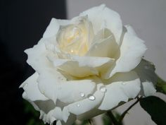 White rose by Livia ^^, via Flickr