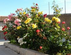 Preciosas rosas en La Alpujarra Almeriense, Andalucía, España.