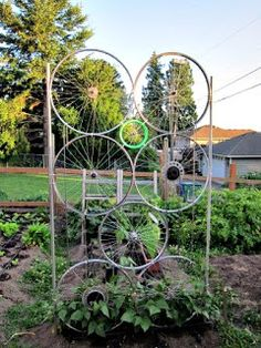 repurposed bike wheels and chains = climbing trellis for beans.