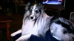 Vaughnnie, a beautiful blue merle sheltie and my heart dog