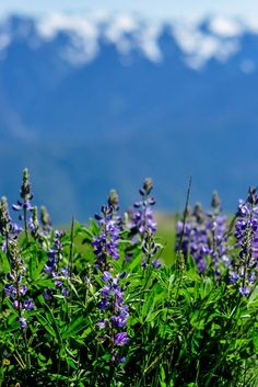 Arctic lupine in Olympic National Park
