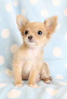 Chihuahua Puppies for Sale .