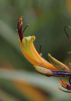 Mountain flax flower - Wharariki