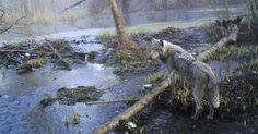 O mesmo estudo identificou que os lobos, são sete vezes mais numerosos do que nos parques perto da zona de exclusão. A região onde viviam cerca de 20 mil pessoas foi abandonada por seres humanos em abril de 1986 devido à explosão de um dos reatores nucleares da Usina de Chernobyl. A imagem deste lobo, divulgada nesta quinta-feira (8), foi feita em abril de 2012