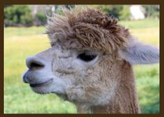 Alpaca fiber vs. sheep wool, also other info on how alpaca are farmed and wool harvested