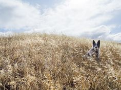 Golden Hills    Your Shot photographer Hannah Overeem captured this shot of her dog, Badger, an Australian cattle dog, in Chino Hills, California. She writes that the contrast of the golden field and blue-and-white s   http://feeds.nationalgeographic.com/~r/ng/photography/photo-of-the-day/~3/rUXHHNgINoQ/