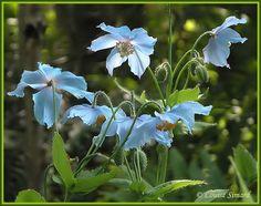 Himalayan blue poppy - Pavot bleu de l'Himalaya - Meconopsis