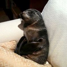 Come home & find a baby seal curled up on your couch.... not a bad day