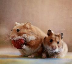 Two hamsters sitting next to each other, while one stuffs a large strawberry in its mouth.