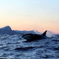 #orca safari #Lofotenopplevelser #orca #andenes #spekkhugger #killerwhales