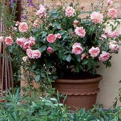 Guilt-Free Container Roses - This Old House