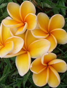 Bali Hai Gold Recently imported from USA, Bali Hai Gold has beautiful deep golden flowers in upright held bunches which look like candelabras on the tree. Fantastic, strong and sweet perfume. Very popular in USA. Rare in Australia. Tropical Flowers, Hawaii Flowers, Plumeria Flowers, Tropical Garden, Rare Flowers, Exotic Flowers, Amazing Flowers, Beautiful Flowers, Rare Plants