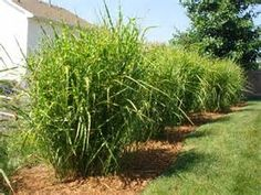 porcupine grass - Bing images