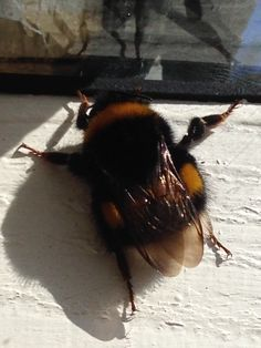 Humble bee can't fly but it does