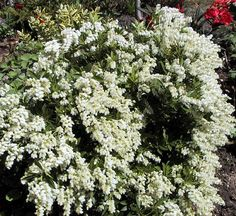 Pieris Japonica, I have one in my front foundation bed that needs to be moved to more sunlight.