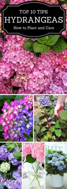 Hydrangea - TOP 10 Tips on How to Plant, Grow & Care Hydrangeas are one of the most popular perennial garden shrubs, mostly due to their mesmerising big flowers in pink, white or blue color and nice foliage, even in autumn. They add a vintage charm to any Garden Landscaping, Garden Shrubs, Flower Garden, Hydrangea Care, Perennial Garden, Hydrangea Garden, Perennials, Plants, Planting Flowers
