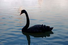 Black Swan Photo  Elegant Wall Art Romantic by Camerallure on Etsy, $15.00