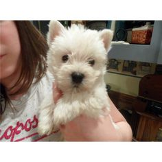 i want her! such a sweet westie pup