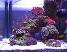 Sushi - 2010 Featured Nano Reefs - Featured Aquariums - Monthly Featured Nano Reef Aquarium Profiles - Nano-Reef.com Forums #aquarium