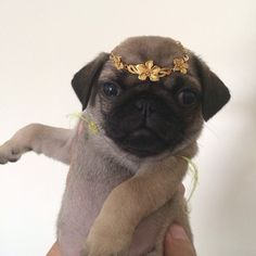 Princess pug