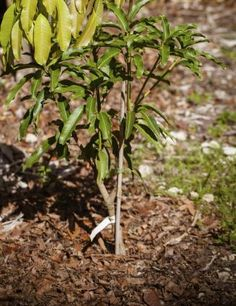 New leaves on grafted tree grafting fruit trees
