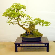 trident maple bonsai | Trident Maple - Root Over Rock Style