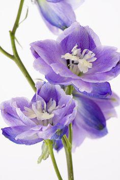 Blue Delphinium - Tall Beauty